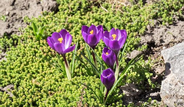 Krokusbloemen op het bloembed