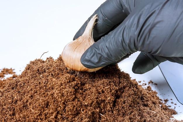 Krokusbollen in de grond planten. stapel vruchtbare grond, tuingereedschap en saffraanbollen op een witte achtergrond.