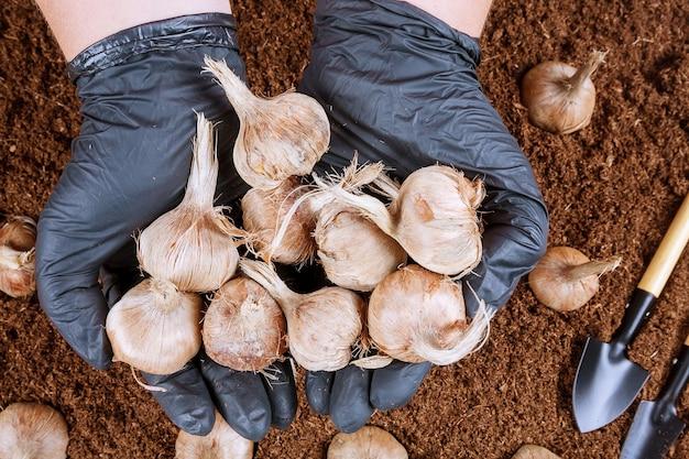 Krokusbollen planten in de grond. een handvol saffraanbollen in de handen van een boer. tuin gereedschap.