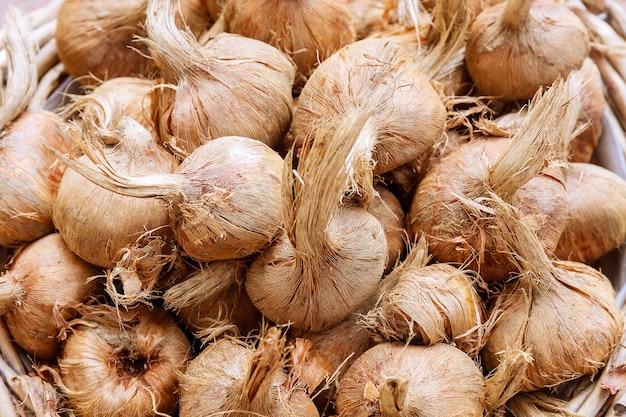 Krokusbollen sativus. bollen voor het planten van saffraan, voor het verkrijgen van de duurste specerij saffraan.