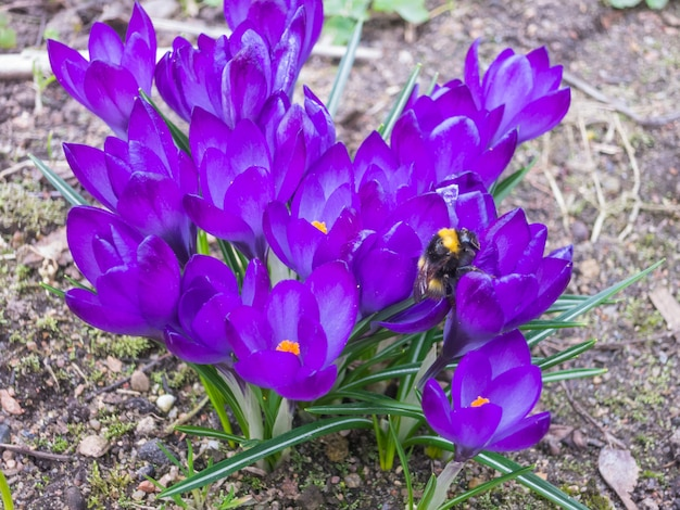 Krokussen bloeien in de botanische tuin