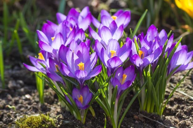 Krokussen die in de botanische tuin bloeien