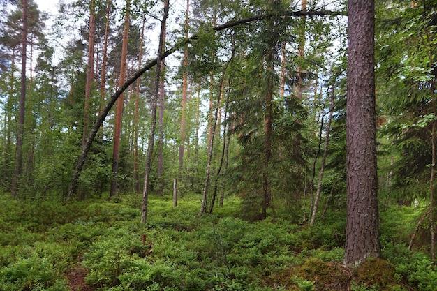 Kromme boom in een dennenbos, veel groen op de grond, rechte stammen van andere dennen, zomer