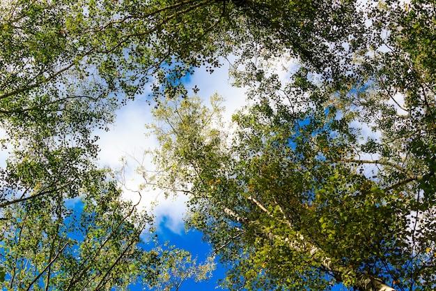 Kronen van berken met groene bladeren tegen blauwe hemel met witte wolken in zonnige herfstdag