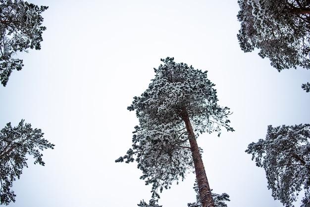 Kronen van hoge pijnbomen bedekt met sneeuw tegen de hemel