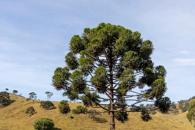 Kroon van araucaria, waarvan de vrucht het rondsel is