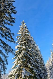 Kroon van sparren bedekt met sneeuw tegen heldere blauwe hemel op zonnige winterdag. vuren takken onder witte sneeuw.