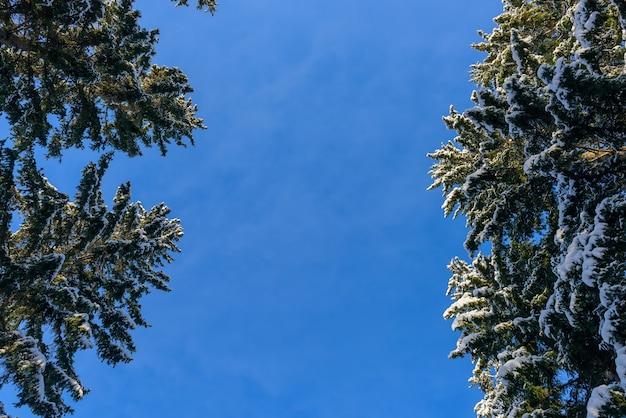 Kroon van sparren bedekt met sneeuw