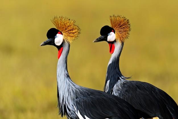 Kroonkraanvogel op de afrikaanse savanne in kenia