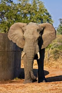 Kruger park olifant buitenkant