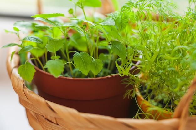 Kruiden kweken op de vensterbank. jonge spruiten van melissa en dille in pot en mand op een witte vensterbank.