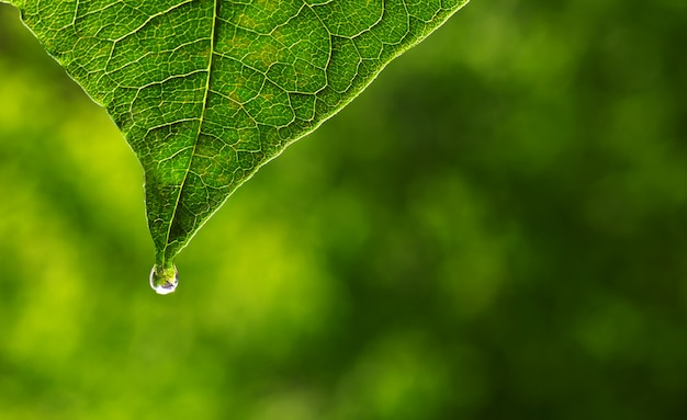 Kruidenessentie. alternatieve gezonde geneeskunde. huidverzorging. etherische olie of water valt uit vers blad