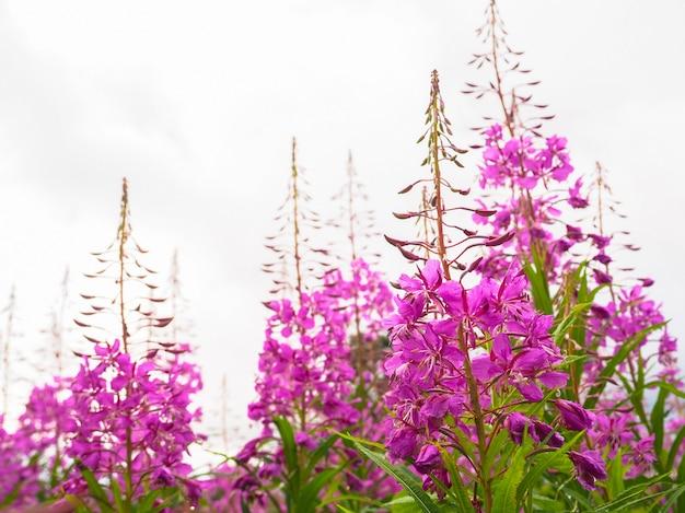 Kruidenthee op het veld, wilg-kruid kruidenthee op het veld, close-up.