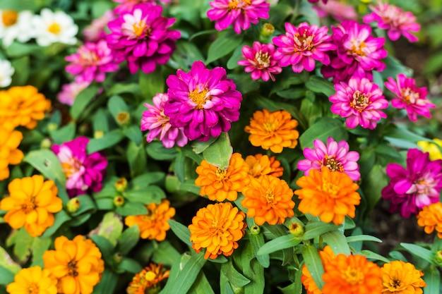 Kruipende zinnia pink of zinnia angustifolia-bloem in de tuin
