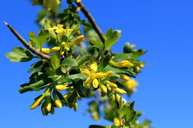 Kruisbes bloeien met gele bloemen op een blauwe achtergrond