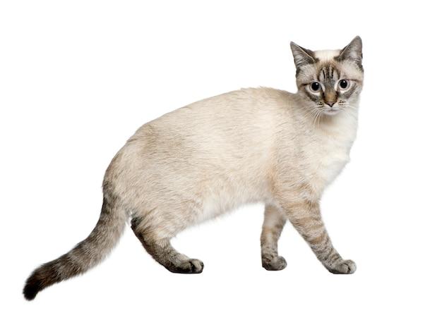Kruising tussen een siamees en een cyperse kat