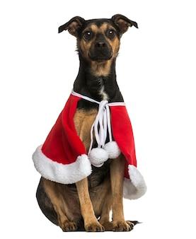 Kruisinghond die een zitting van de kerstmiskaap draagt die op wit wordt geïsoleerd