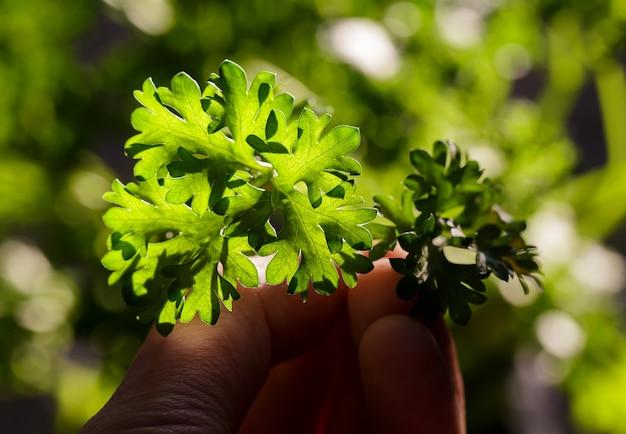 Krullende peterselie laat close-up in de tuin