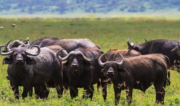 Kudde afrikaanse buffels close-up. vulkaan ngorongoro, tanzania
