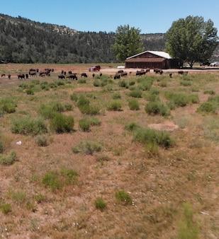 Kudde bizons of amerikaanse buffels in hoogvlakten in utah, luchtfoto.