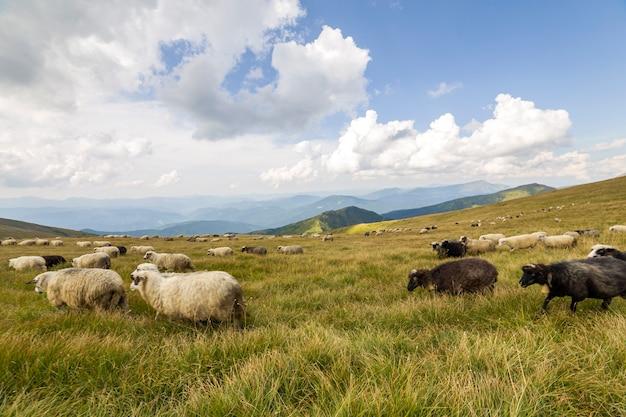 Kudde boerderij schapen grazen op groene bergweide.