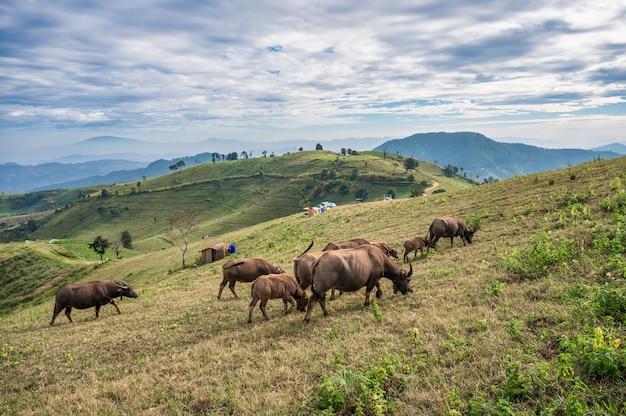 Kudde buffels grazen op heuvel en toeristen kamperen in nationaal park in doi mae tho
