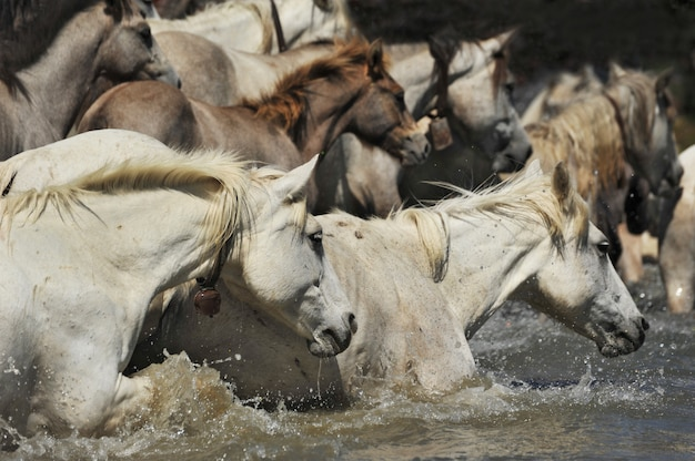 Kudde camargue-paarden
