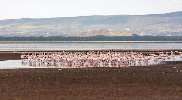 Kudde grotere roze flamingo's