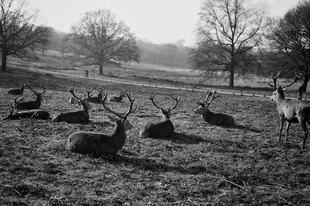 Kudde herten rusten in een veld