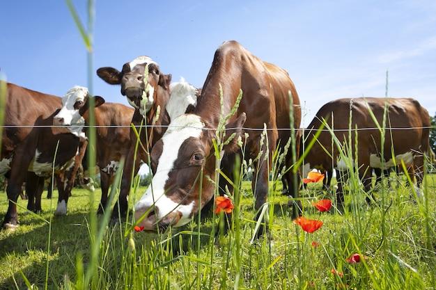 Kudde koeien die in het voorjaar melk produceren voor gruyère-kaas in frankrijk