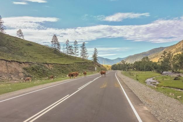 Kudde koeien die zich binnen bevinden en een weg blokkeren in altaj, rusland