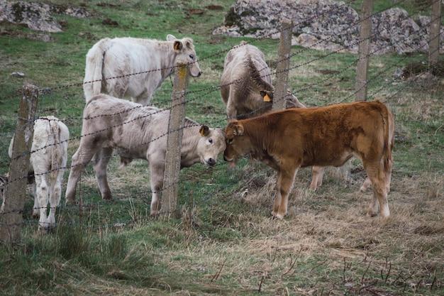 Kudde koeien en kalveren in het veld gescheiden door een hek. concept van het fokken van landbouwhuisdieren in vrijheid.