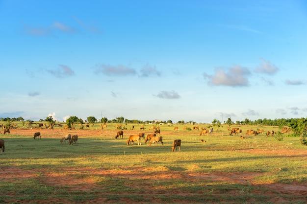 Kudde koeien grazen in vietnam bij zonsondergang.