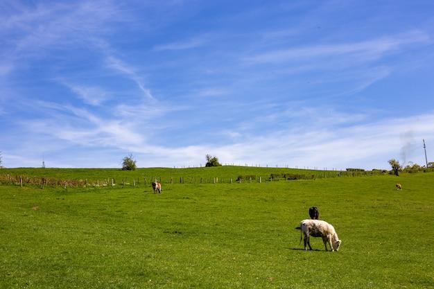 Kudde koeien grazen op de wei overdag