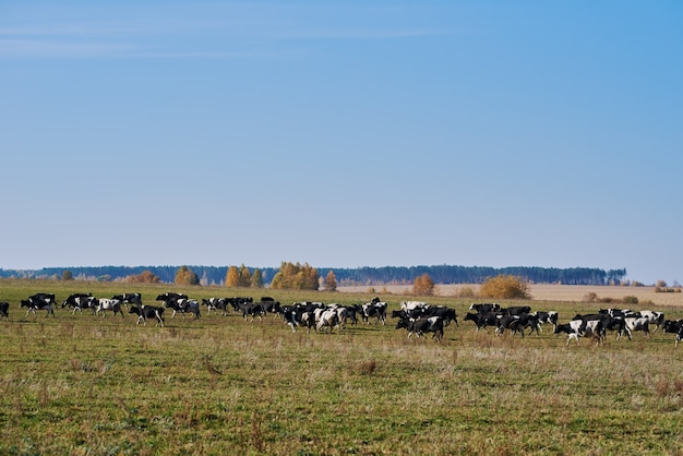Kudde koeien grazen op groen veld