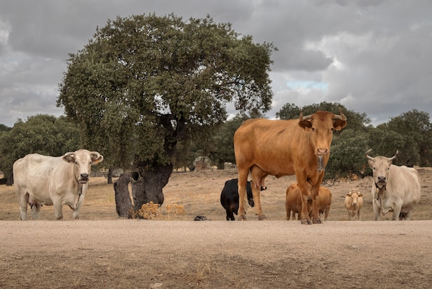 Kudde koeien in de buurt van arroyo de la luz extremadura spanje
