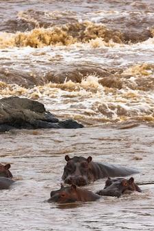 Kudde nijlpaarden aan de rivier de mara. masai mara, kenia