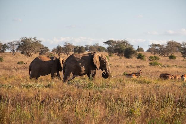 Kudde olifanten en herten op een veld in de jungle in tsavo west, taita heuvels, kenia