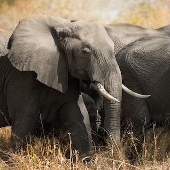 Kudde olifanten - kugger - zuid-afrika