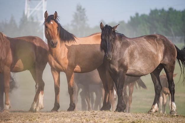 Kudde paarden in het stof