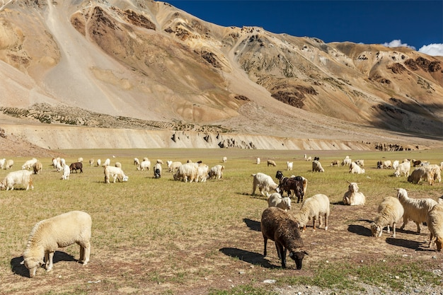 Kudde pashmina schapen en geiten in de himalaya. himachal pradesh,