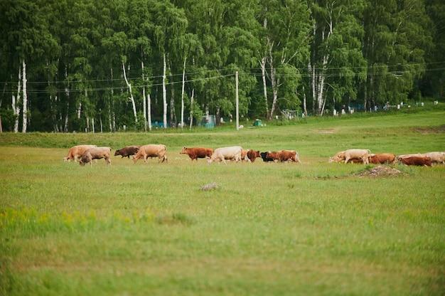 Kudde rennende paarden in het veld.