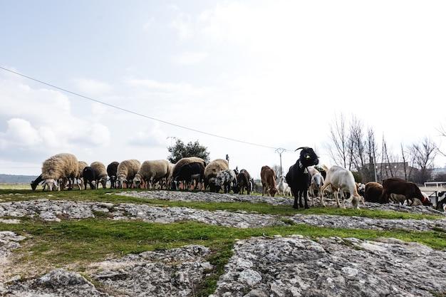 Kudde schapen en geiten in een afgelegen spaans dorp
