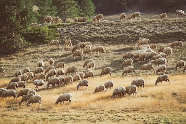 Kudde schapen grazen in een veld