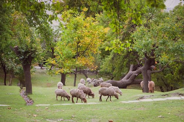 Kudde schapen grazen op het weelderige groene gazon in de vallei van hunza.