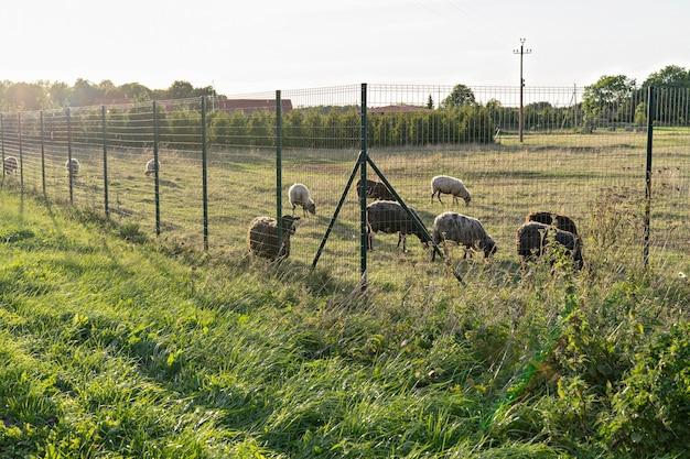 Kudde schapen grazen op landbouwvelden bij zonsondergang groene weide met schapen op het platteland