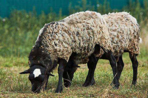 Kudde schapen grazen op zomer veld. schapen op een boerderij