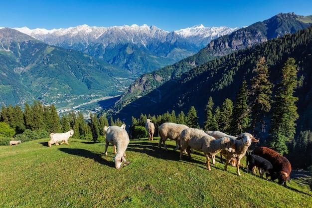 Kudde schapen in de himalaya