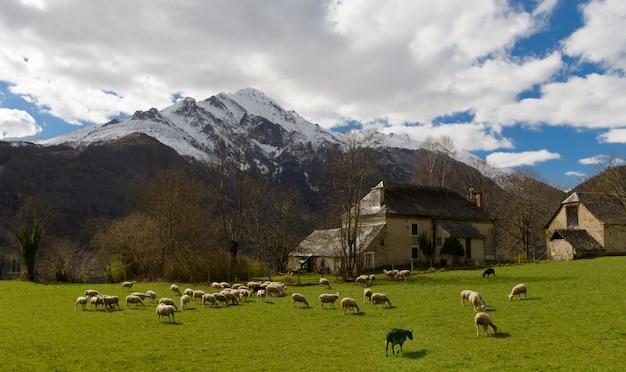 Kudde schapen in de weide, pyreneeën