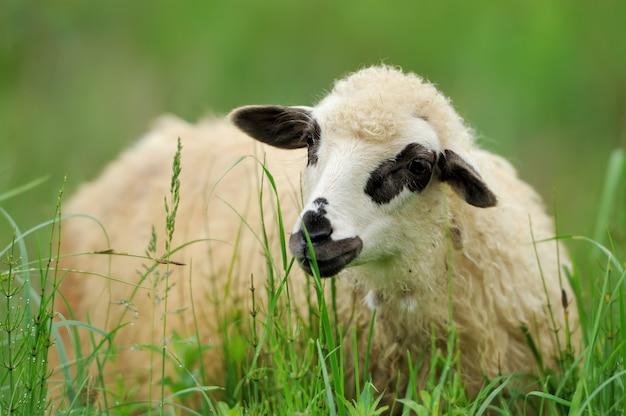 Kudde schapen in zomer veld op een boerderij